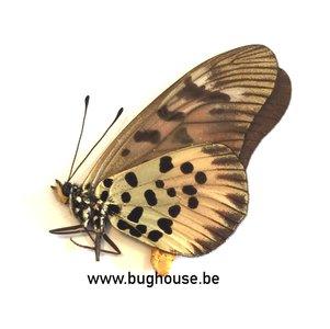 Acraea Pharsalus (RCA)