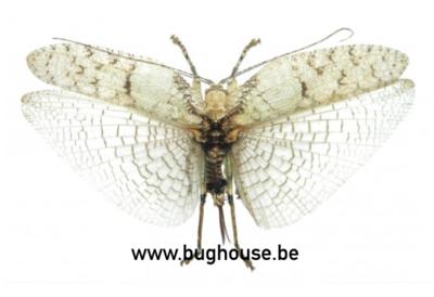 Olcinia sp.01 (Java) ♀︎ **SPREAD**