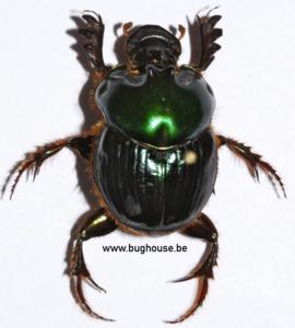 Helictopleurus Giganteus (Madagaskar)   ♂︎/♀︎