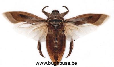 Lethocerus indicus (Java) ♂︎/♀︎ **SPREAD**