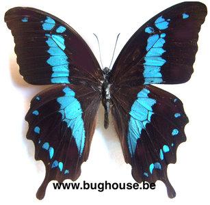 Papilio oribazus (Madagascar)