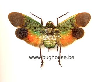 Penthicodes Farinosa Tulia (Sulawesi) ♂︎/♀︎ **SPREAD**