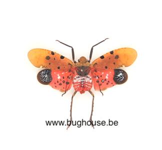Penthicodes atomaria (Java) BUGHOUSE