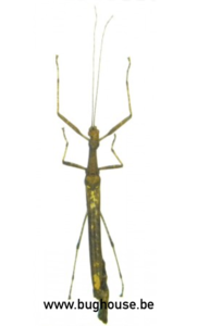Phasmida SP1. (Java) ♂︎