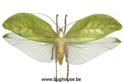 Pseudophyllus Dyaka (Java) ♂︎ **SPREAD**