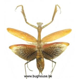 Mantodae Sp1. (Java) ♂︎ **SPREAD**
