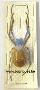 Nephilia sp. (Java) ♂︎/♀︎