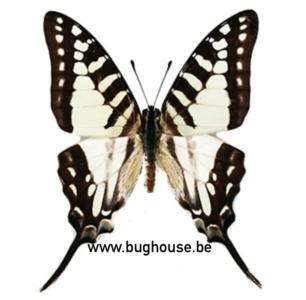 Graphium Evombar (Madagascar) ♂︎