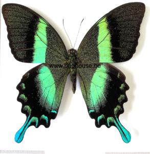Papilio Blumei (Sulawesi) ♂︎/♀︎