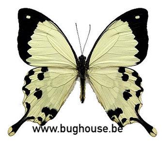 Papilio dardanus meriones  (Madagascar)