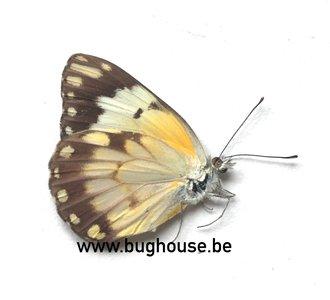Belenois Aurota form 2 (Madagascar)