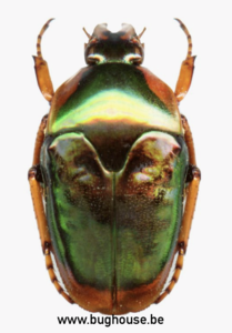 Lomaptera Mycterophalloides (Indonesia)