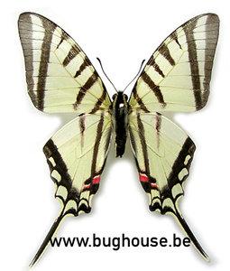 Eurytides Agesilaus (Peru)