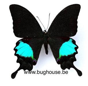 Papilio paris gedeensis (Java)