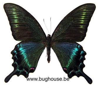 Papilio Maackii Maackii (China)