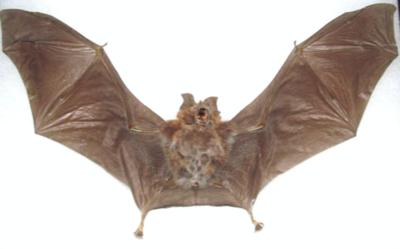 Rhinolophus Affnis (Java) ♂︎/♀︎ **SPREAD**
