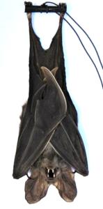 Rhinolophus Affnis (Java) **HANGING**