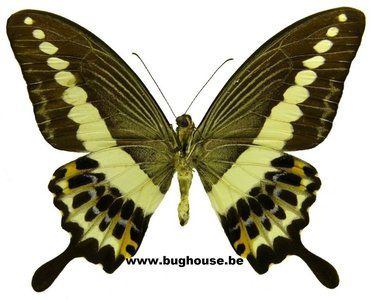 Papilio demolion demolion (Malaysia)