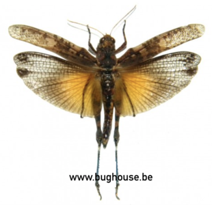 Orthoptera sp. (Java) ♂︎/♀︎ **Flügel geöffnet** ORANGE