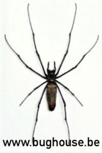 Nephilia Maculata (Java) ♂︎/♀︎