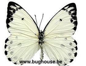 Belenois calypso (RCA) A-