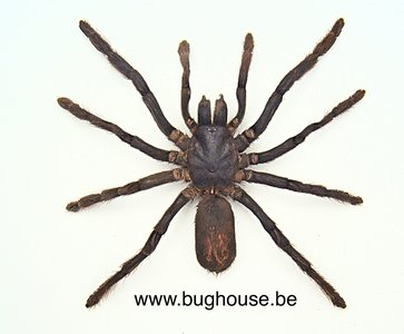 Eurypelma spinicrus - Tarantula (Indonesia) (Medium)