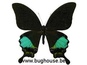 Papilio Karna Karna (Java)