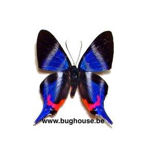 Rhetus Dysonii (Peru)