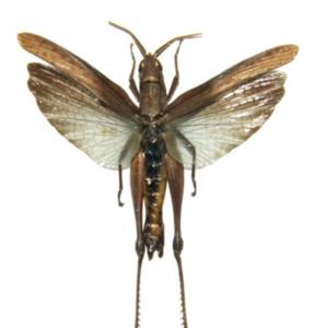 Orthoptera sp2. (Java) ♂︎/♀︎ **SPREAD**