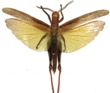 Eucoptacra ceylonica  (Java) ♂︎/♀︎ **SPREAD**