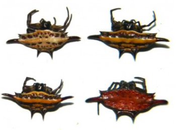 Gasteracantha spider (Java) ♂︎**Mix colors**