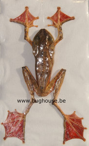 Rhacophorus Pardalis Spread (Indonesia)