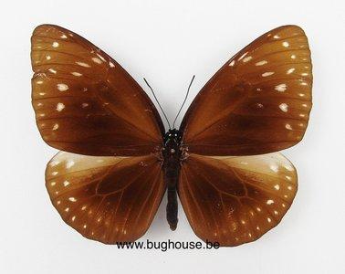 Euploea phaenareta Difigurata (Bali)