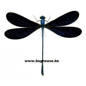 Vestalis Luctuosa Blue