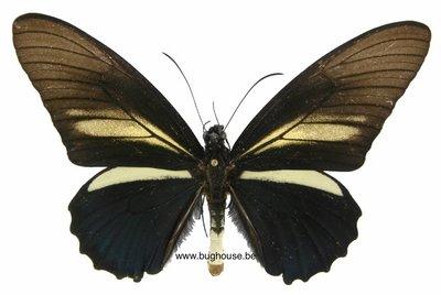 Battus crassus (Peru)
