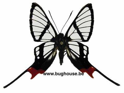 Chorinea sylphina (peru)