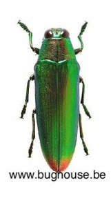 Chrysochroa Aurora (Sulawesi)