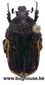 Clinteria Cinctipennis (Java)