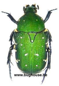 Glycyphana moluccarum (Ambon)