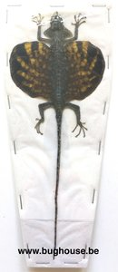 Flying Lizard - Draco Volans Volans (Indonesia)