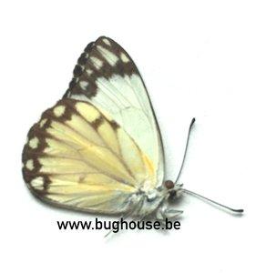 Belenois Aurota form 1 (Madagascar)