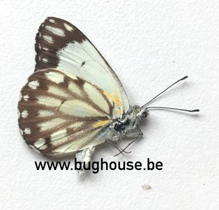 Belenois Aurota form 3 (Madagascar)