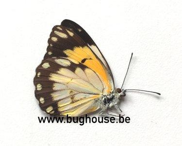 Belenois Aurota form 4 (Madagascar)