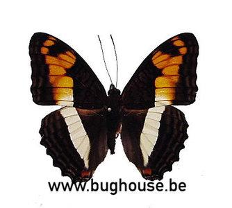 Adelpha phylaca (Peru)