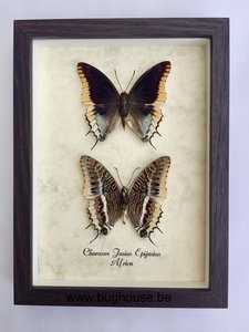 Charaxes Jasius Epijasius Back and front side in one frame