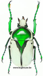 Ranzania bertolonii (Tanzania)