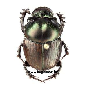 Digitonthophagus Balthasar (RCA)
