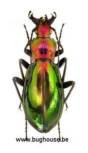 Chrysocarabus splendens (France)