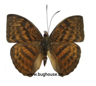 Bebearia Subtentyris (RCA)