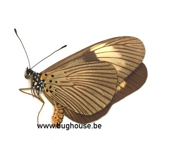 Acraea Jodutta (RCA)